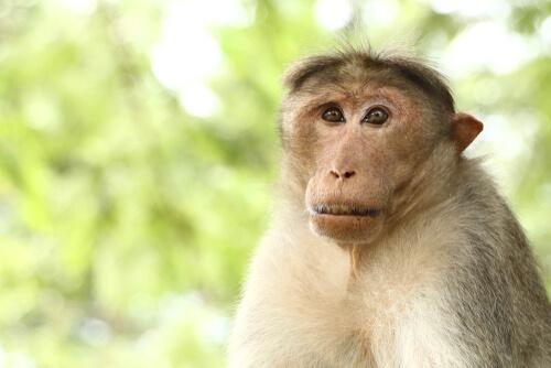 Biología del macaco de Bonnet