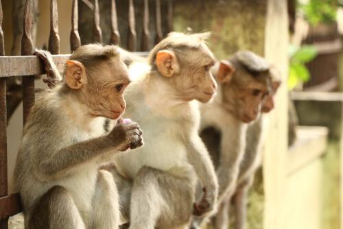 Macaco de Bonnet: comportamiento