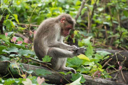 Macaco de Bonnet: hábitat
