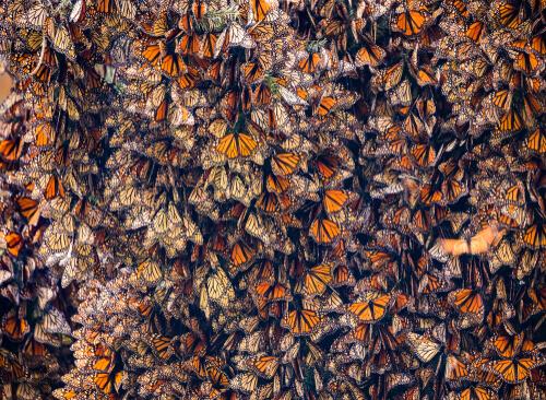 Migraciones de insectos