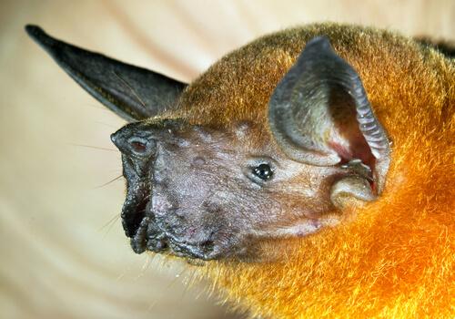 Murciélago pescador: alimentación