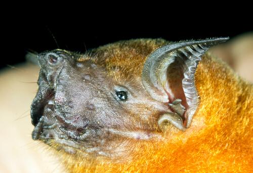 ¿Conoces al murciélago pescador?