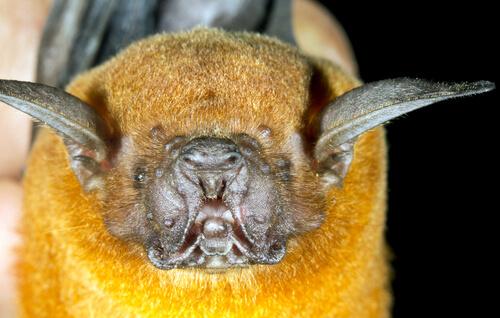 Murciélago pescador: reproducción