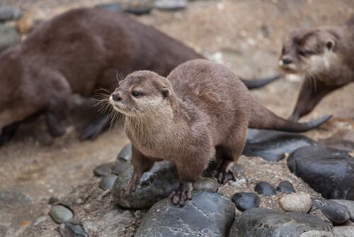 Nutria enana: características, comportamiento y hábitat