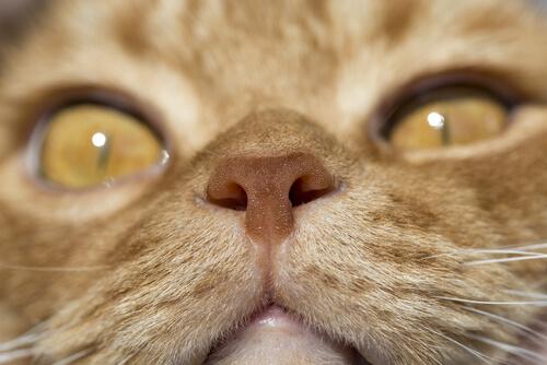 Olfato en felinos