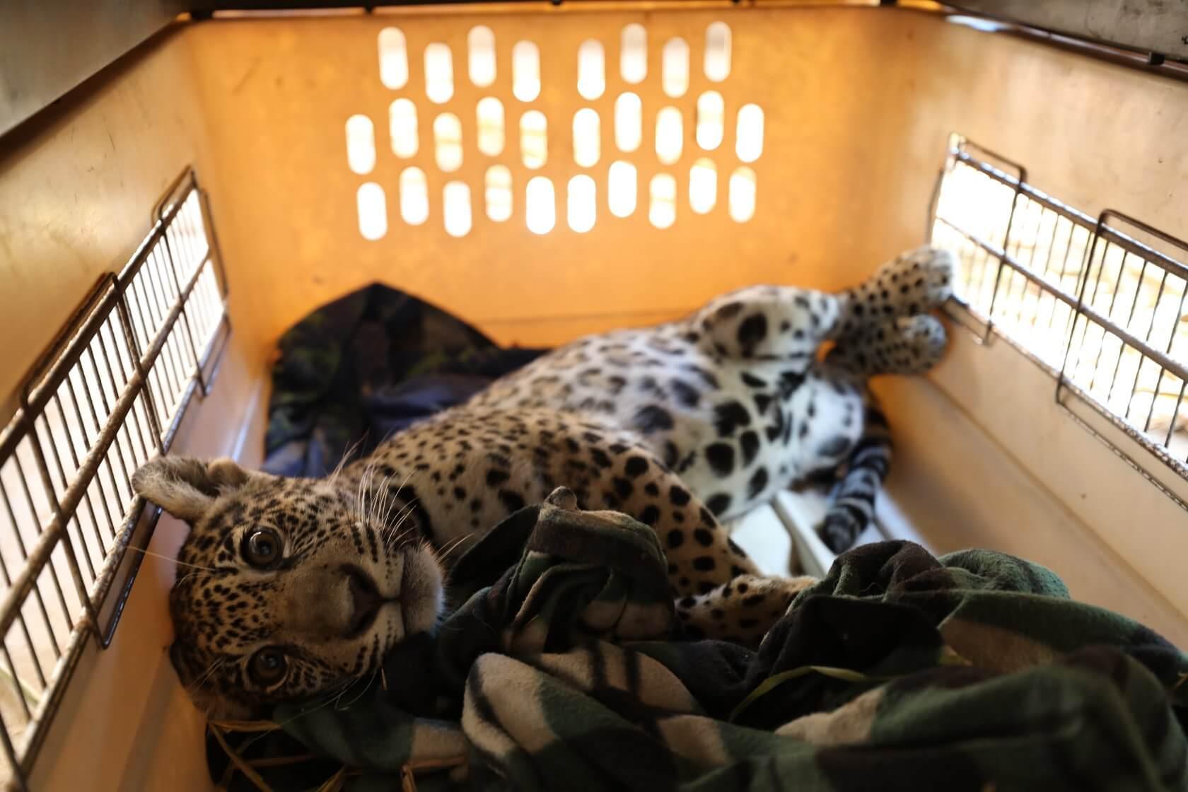 ONCA: jaguar