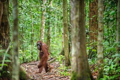 Orangután de Borneo en peligro de extinción