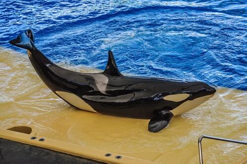 Orcas en cautividad