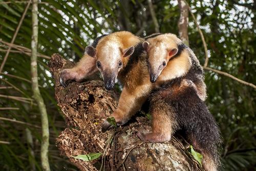 Oso melero: hábitat