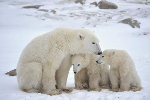 Oso polar (Ursus maritimus)