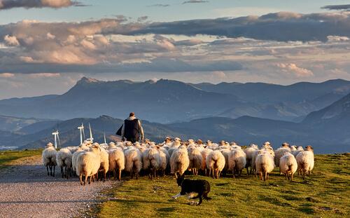 Овцы: еда и темперамент