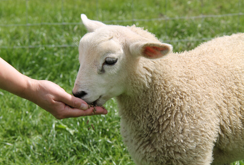 La oveja doméstica: alimentación y temperamento