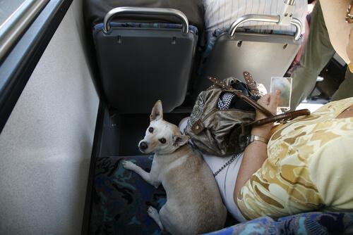 Собаки поедут на городских автобусах Мадрида