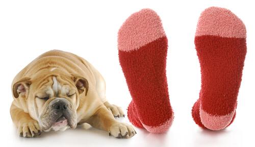 Perros que detectan la malaria oliendo calcetines