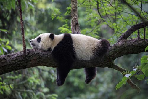 Qué come el oso panda