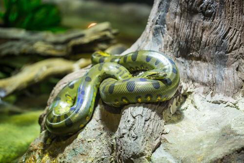 Reproducción de las anacondas verdes