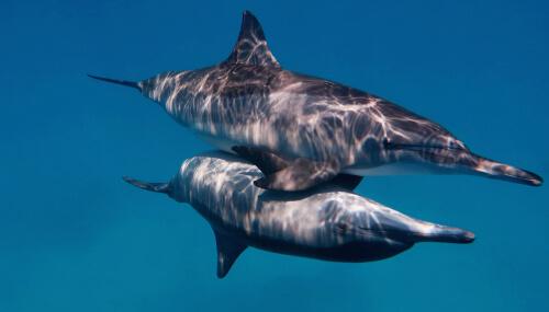 Reproducción del delfín nariz de botella