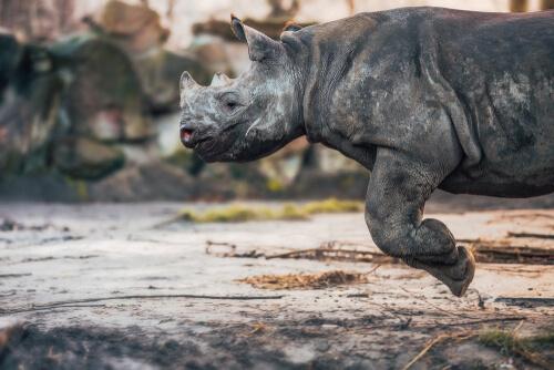 Rinoceronte corredor