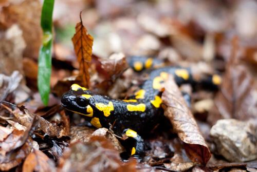 ¿Las salamandras tienen hongos?