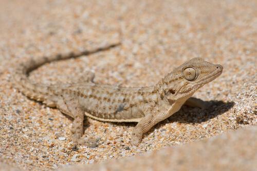 Salamanquesa común, un reptil urbano