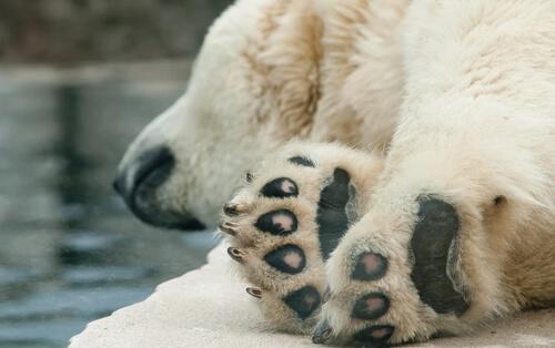 Salud de los osos polares