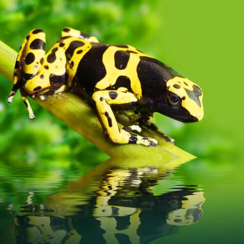 El sapito minero, una rana venenosa