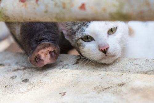 Síndrome del cerdo-gato: qué es esta alergia
