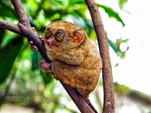 Un rostro intimidante lucha por sobrevivir: el tarsier