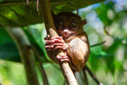 Tarsier: hábitat