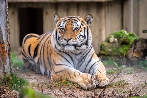 Tigre en uno de los zoológicos aliados de la biodiversidad