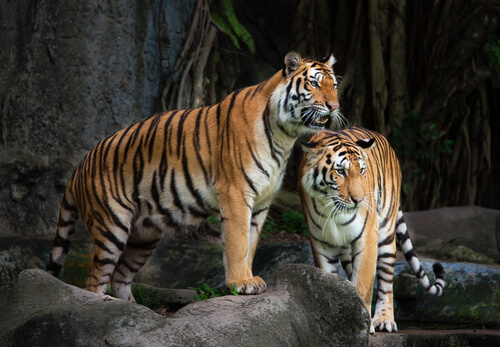 Tigres atacando personas