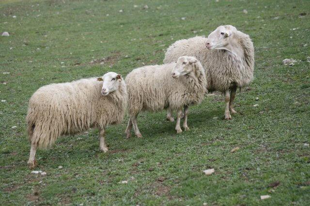 Tipos de ovejas: ansotana