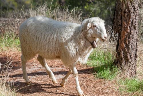 Tipos de ovejas: canaria