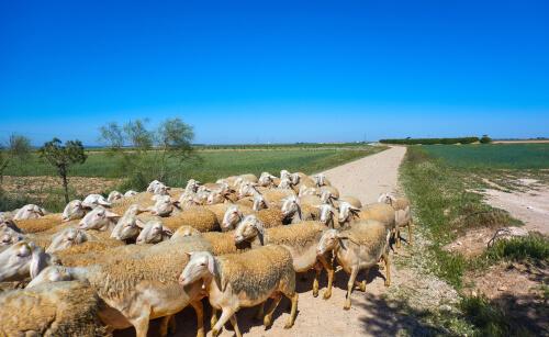 Tipos de ovejas: castellana