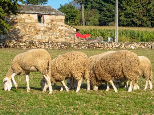 Tipos de ovejas: gallega