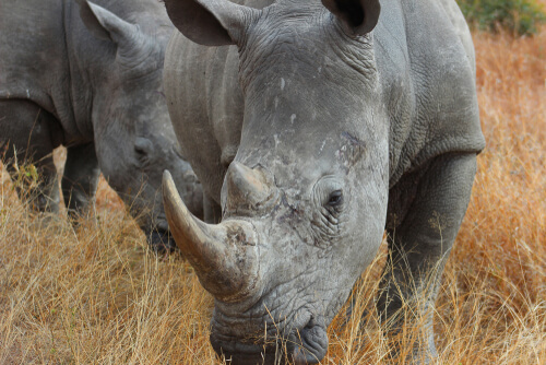 La apariencia prehistórica de la trompa de rinoceronte