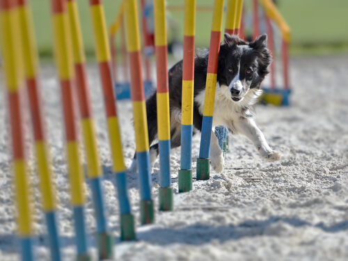 Agility con border collie
