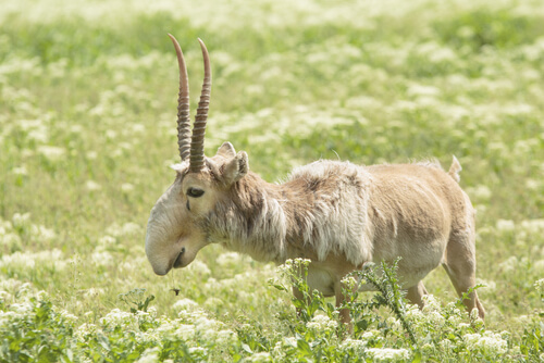 Antílope saiga en peligro de extinción