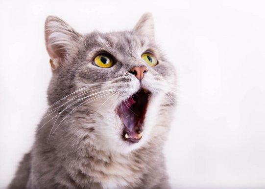 У моей кошки астма у кошек?