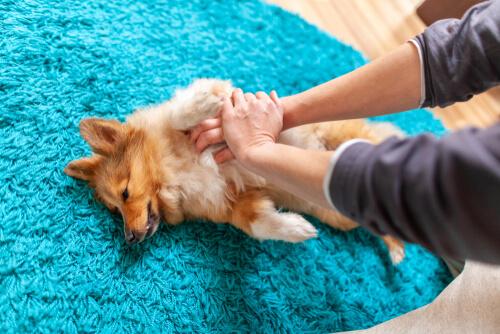 Ausencia de pulso en perros