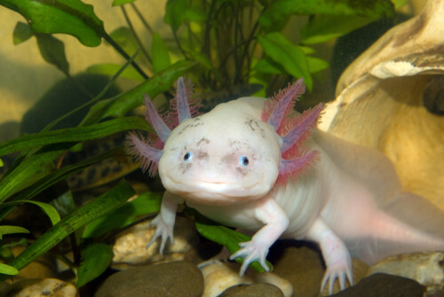¿Qué es el axolotl?