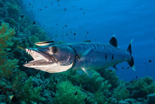 Barracuda: alimentación