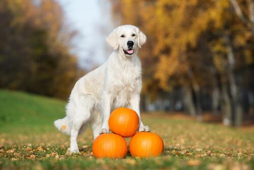 Beneficios de la calabaza en el alimento de tus perros