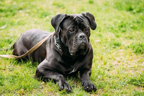 Cane corso: excelente perro de guardia y de compañía