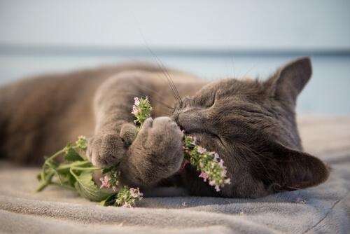 ¿Qué es la hierba gatera o catnip y por qué vuelve locos a los gatos?
