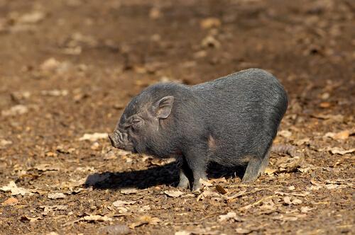 Cerdo vietnamita: especie exótica