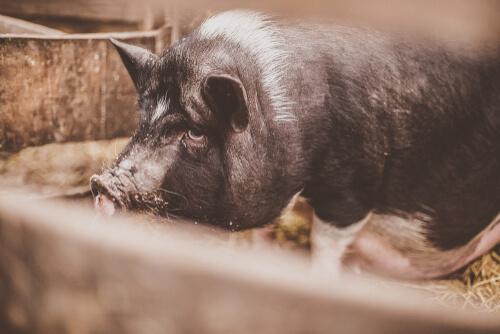 Cerdo vietnamita: especie invasora