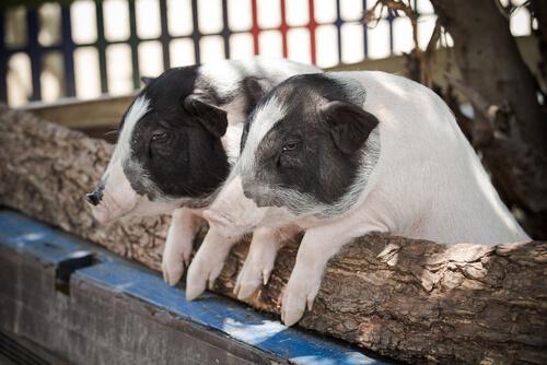 Cerdos pigmeos