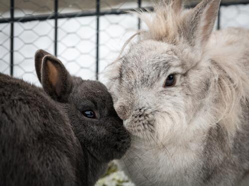 Ciclo de reproducción del conejo