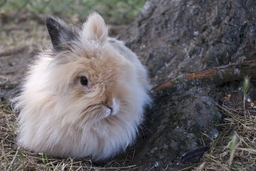 An angora rabbit.
